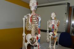 B 2 scheletri mezzo busto