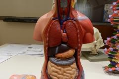 L torso senza addome