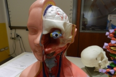 N cranio con occhio da torso frontale