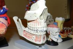 S cranio con arcate dentarie