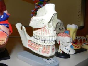 S-cranio-con-arcate-dentarie